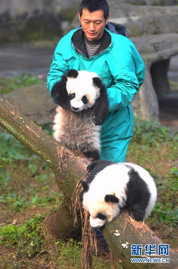 1月22日,重庆动物园熊猫馆,饲养员抱着大双(上)和小双一起同游客见面。   当日,2016年7月出生的大熊猫双胞胎大双与小双在重庆动物园正式与游客见面。   饲养员将它们抱到室外运动场,第一次面对众多观众,大双与小双毫不怯场,憨态可掬、耍宝卖萌。新华社记者 陈诚 摄