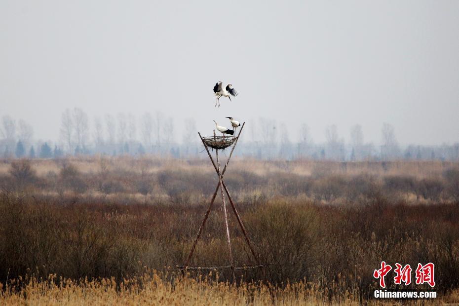 """东方白鹳""""落户""""黑龙江嘟噜河湿地保护区"""
