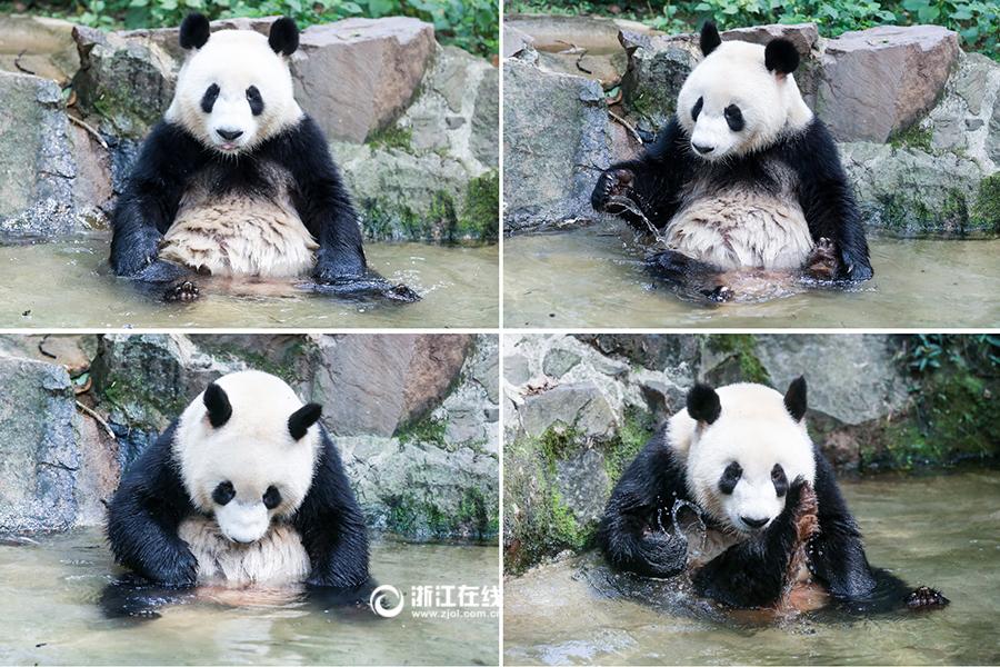 杭州动物园熊猫馆迎来新萌宠-影像中心-浙江