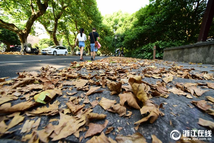 杭州:高温持续  枯叶飘零