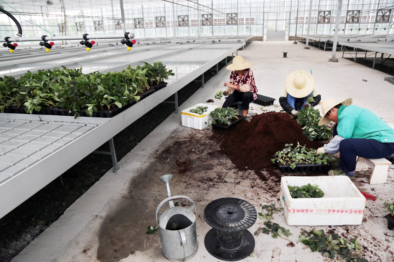 嘉善:农业孵化园  草莓育苗忙
