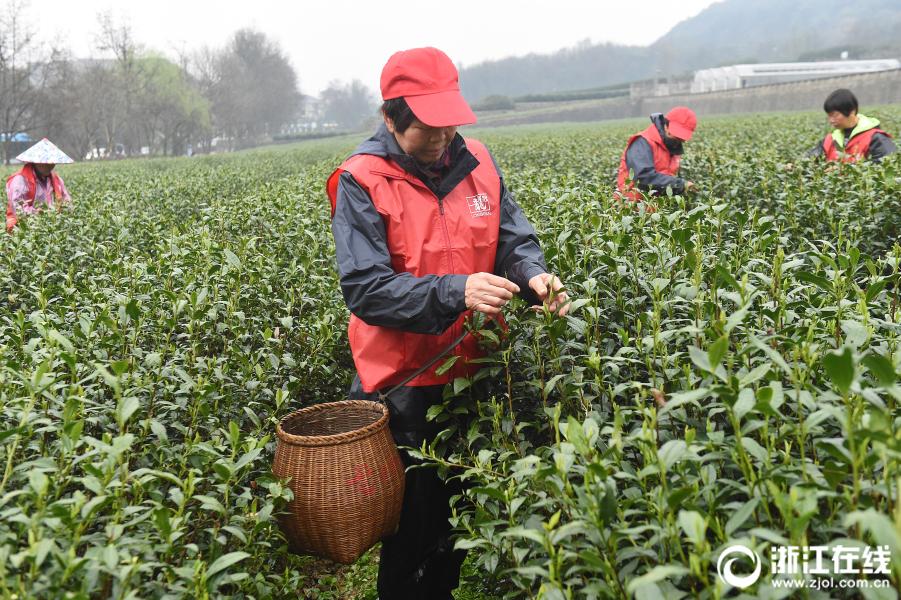 杭州:明前西湖龙井头茬开采