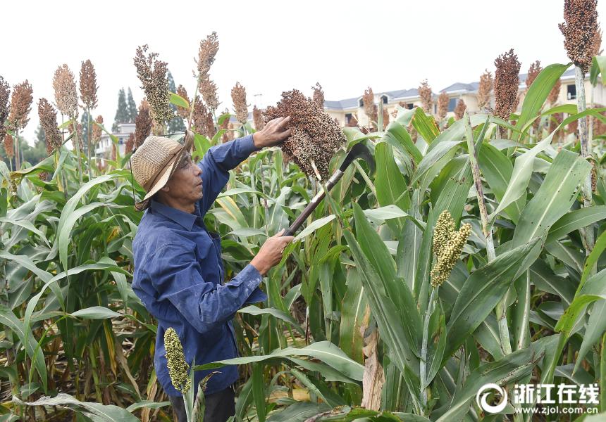 杭州:高粱红了 农民增产又增收